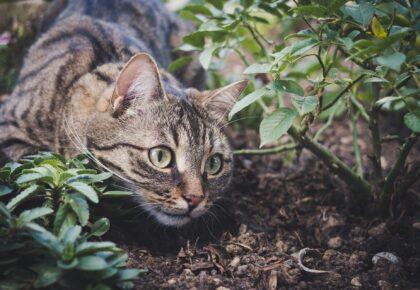 DOUAI : La campagne de stérilisation des chats errants se poursuit à Frais-Marais et résidence Gayant