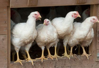 DOUAISIS : Le risque d'influenza aviaire hautement pathogène a été relevé de «négligeable» à «modéré» , trois communes du territoire concernées